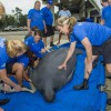 SeaWorld Orlando Returns Rehabilitated Male Manatee in St. Augustine Today