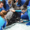 Young Pilot Whale Receiving Extensive Medical Care for Infection at SeaWorld Orlando