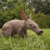 Baby Aardvark born at Busch Gardens