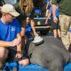 SeaWorld Returns A Special Mother-and-Calf Manatee Pair to Florida Waters