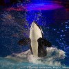 SeaWorld announces end of orca breeding program
