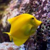 SEA LIFE Orlando Aquarium Welcomes New Wave of Yellow Tangs