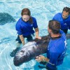 Rare beached Pygmy Killer Whale receives treatment at SeaWorld Orlando
