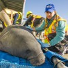 SeaWorld team assists with rescue of four manatees stranded in South Carolina