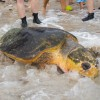 SeaWorld Orlando returns largest rescued Loggerhead Sea Turtle in company history back to the wild