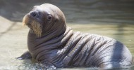 SeaWorld Orlando Welcomes Baby Walrus