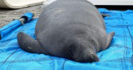 Rehabilitated Manatee Returned during Manatee Awareness Month