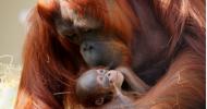 Busch Gardens Tampa Bay Welcomes Baby Orangutan