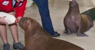 Baby Walruses Meet for the First Time