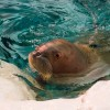 Walrus Calves make debut at SeaWorld